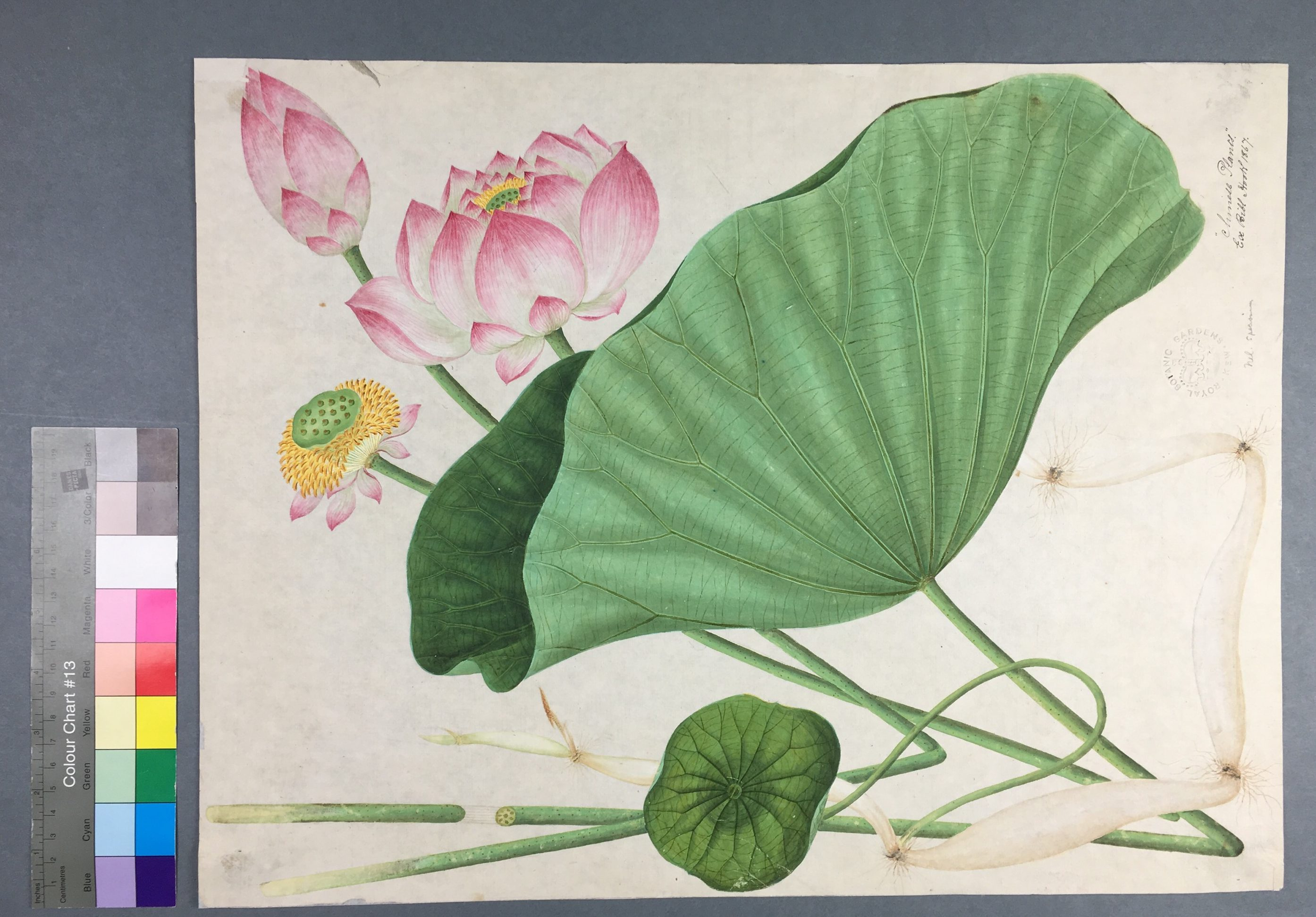 Lotus flower painting from The Royal Botanical Gardens Kew, after treatment