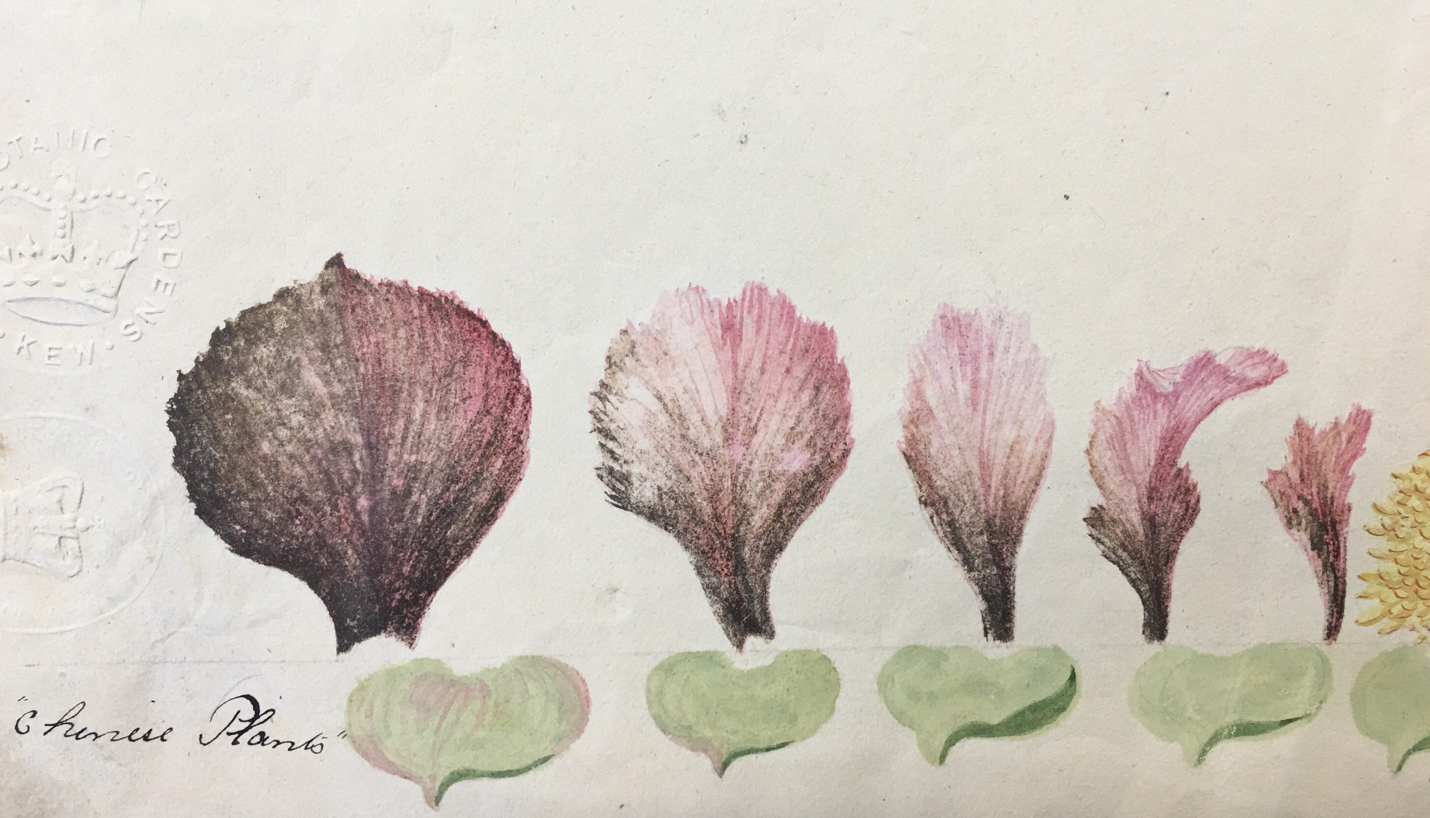 Botanical painting before lead white conversion
