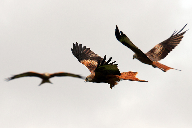 Red kites photographed by Mrs Airwolfhound